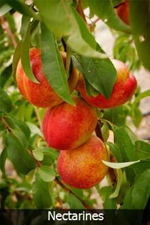 dwarf fruit cocktail tree reviews